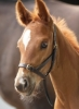 Shires Leather Foal Slip